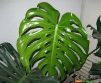 龟背竹 常绿植物龟背竹 龟背竹出售租摆 承接绿化工程