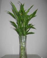 富贵竹 花开富贵富贵竹 室内植物