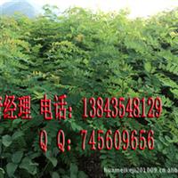 富贵树 香花槐2-3公分小树