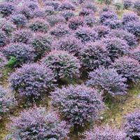 长期供应绿化灌木60-10公分红桎木球,成活率高