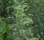 供应葡萄苗优种葡萄苗 品种葡萄苗 山西葡萄苗 葡萄苗产地