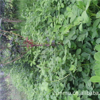 花生|花生米|花生果|新花生|新花生米|新上市的花生