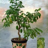杨桃树苗 红杨桃苗 马来西亚红杨桃 (盆栽35元 两年已经结果