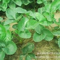 优质山东草莓苗,优质山东草莓苗品种
