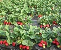 山东泰安章姬草莓苗,山东草莓苗基地