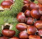 日本油栗果