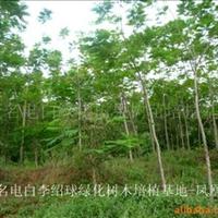 大量10到20公分凤凰木低价抛售
