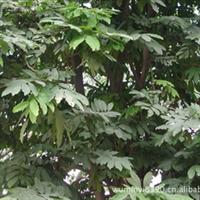 园林绿化工程大树—无忧花,各种规格的都有,价格面议,包上车