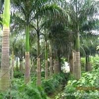 园林绿化工程大树苗木—大王椰子,价格面议,包上车