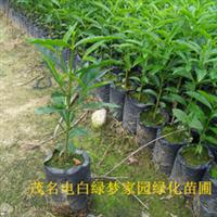 供应鹅肾木、鹅山木、和顺木小苗