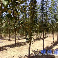 供应园林绿化果树苗