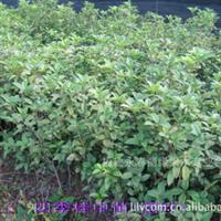 四季桂花(灌木)中苗
