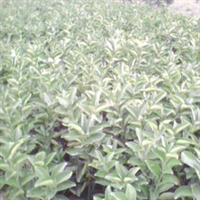 大量供应优质柚子,嫁接柚子苗        13185905058