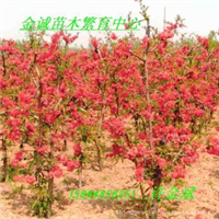 木瓜海棠花:世界一、长寿冠、长寿乐、银长寿、复色海棠