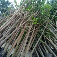 供应福建漳州5至15分重阳木(秋枫)红皮地苗大量供应