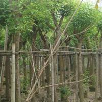 供应福建漳州鸡冠刺桐移植苗10分至20分冠大树型好