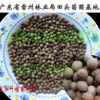 供应印度小叶檀香种子