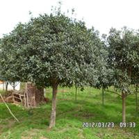 谷城县绿源苗木基地大量提供桂花树 及承接各种绿化工程