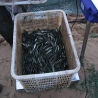 长期供应微山湖 黑鱼苗,黑鱼 乌鱼之乡
