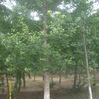 批发供应精品长绿化的银杏树