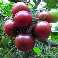 稀有品种 黑番茄 黑珍珠 紫玉 逢黑必补