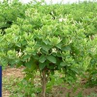 高产树形四季金银花巨花一号苗  名贵中药材  木本树形冠状