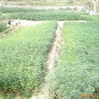 供应九叶青花椒种子