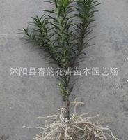 2010年特价出售[红豆杉]30厘米以上苗1.2元