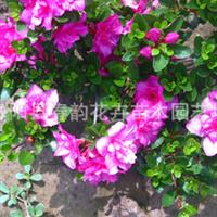 【卖】供应北方耐寒花卉-【日本石岩杜鹃】