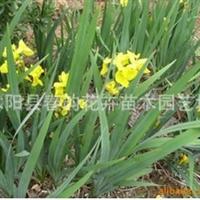 【卖】供应工程绿化苗木花卉种苗种子【德国鸢尾 】