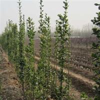 供应北海道黄杨 1-3米北海道黄杨 黄杨小苗 大量