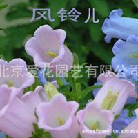 风铃草|风铃花|苗圃|一二年生草花|绿化苗木|花坛摆放|基地直供
