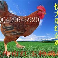 供应快大型红公鸡苗、红玉鸡苗