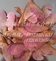 【加拿大NGT种源】美国红枫种子,最抗寒的美国红枫种子