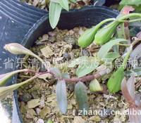 铁皮石斛种子果实 乐清极品红本地品种 基地直销 另有种苗瓶苗