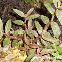 铁皮石斛种苗驯化苗 5-10cm 乐清极品红本地优良品种 基地直销