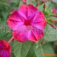 供应批发紫茉莉种子(图)