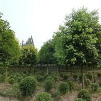 成都批发出售卖8-25公分天竺桂