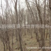 临朐兴旺苗木批发购销各种规格10-20cm刺槐 物美价廉