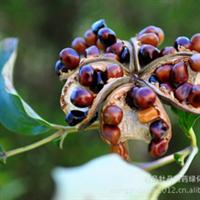 牡丹种子 花苗种子 药材种子 种苗