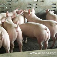 批发三元仔猪,三元苗猪,育肥仔猪苗,品种好,价格低