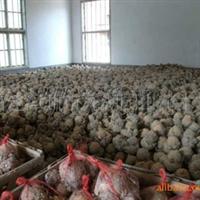供应漳州原产地高质量的水仙花头(图)