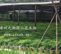 批发供应文竹苗 盆景 室内观叶植物小盆栽 自产自销