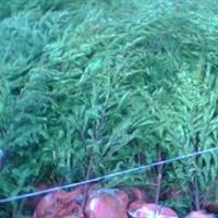 红豆杉二年苗木,50~80cm