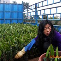 广东,湛江。优质红心火龙果基地,有批发火龙果苗,火龙果
