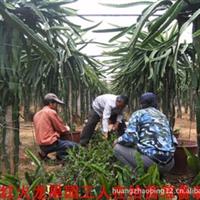 台湾红心火龙果苗大笼果——果大 甜度高 产量高
