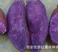 供应热销全国 行业第一 优质高产良种日本黑紫薯红薯苗