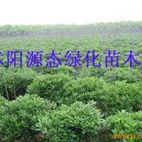 供应银杏、紫薇、连翘、迎春、木槿、栾树(图)