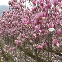 供应花木-紫薇、紫荆、紫玉兰、白玉兰、栾树、合欢(图)