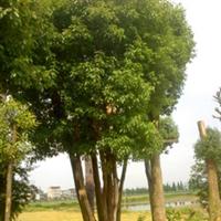 丛生大香樟